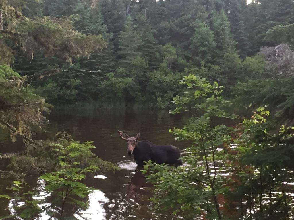 Photo of a moose in the water of Washington Creek on Isle Royale as viewed from the interior of a camping shelter. The moose is looking directly at the camera.
