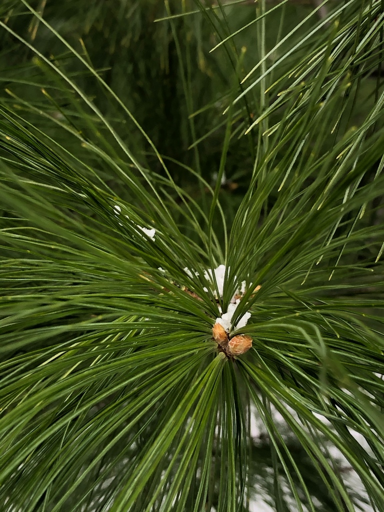 Close up photo of the needles of a pine tree with a little bit of snow clinging to the needles.