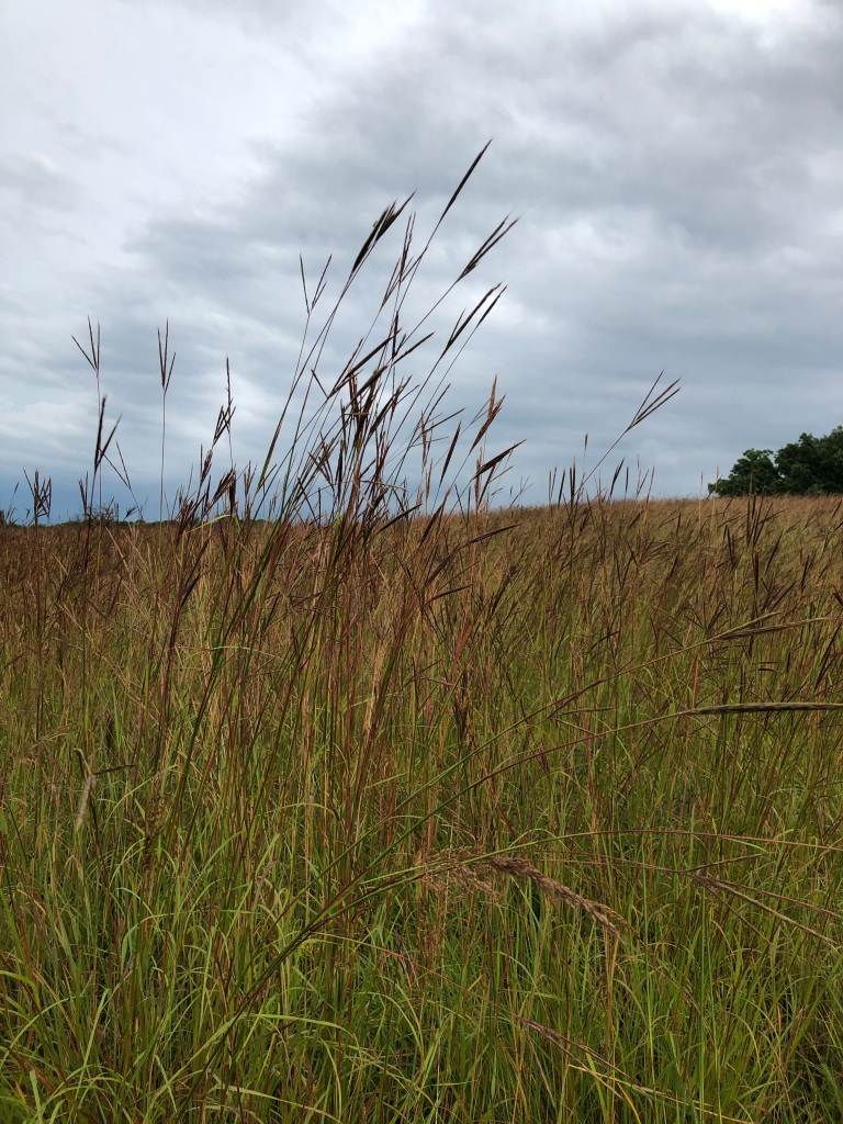 Image is of a field of native grasses which are turning rust colored. The sky is cloudy and there are a few trees in the distance on the right side of the image.