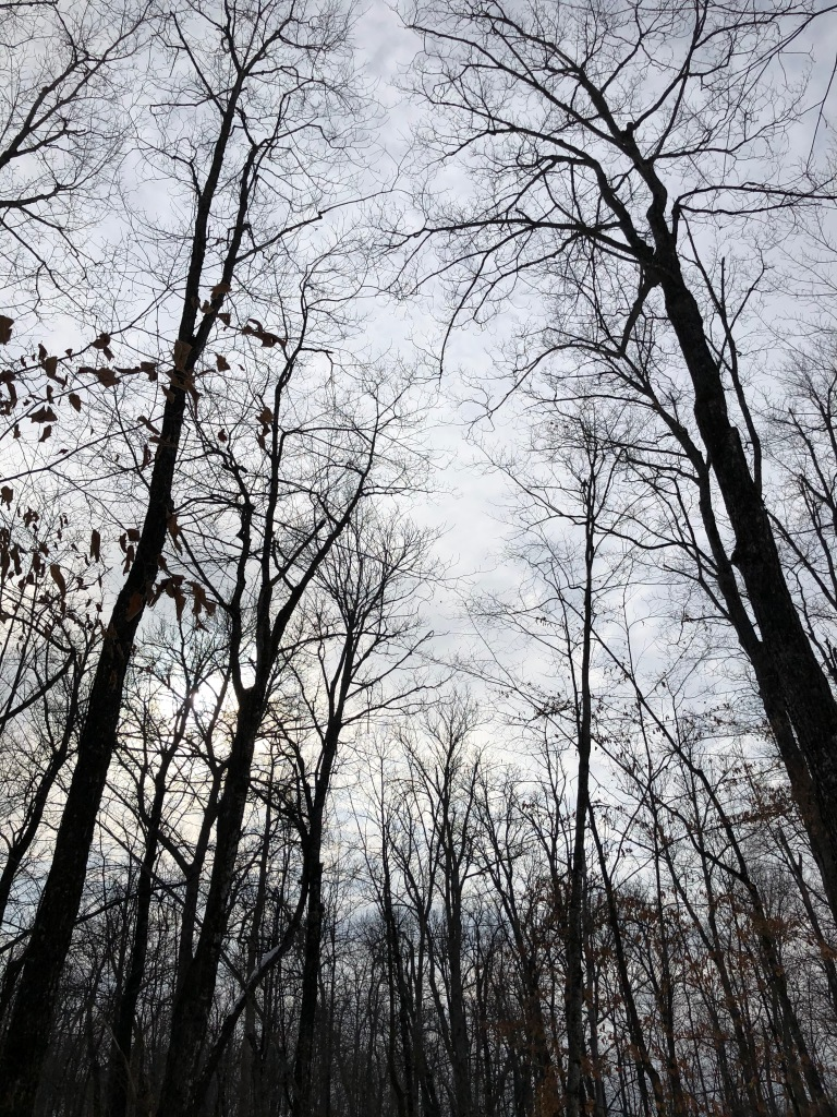 The photo is of trees taken at dusk. The trees are black against the grey blue sky.