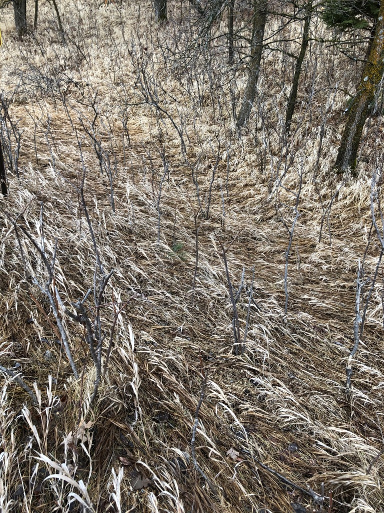 Photo is of light brown grass laying in a pattern as if water is flowing over it. Interspersed in the grass are dark sycamore bush stems providing a contrast to the sycamore trees.